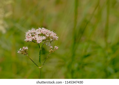 Soft pink common valerian flower, selective focus with green bokeh background - Valeriana officinalis