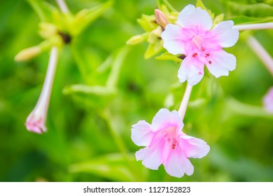 Soft pink flower of Mirabilis jalapa, the marvel of Peru or four o'clock flower, is the most commonly grown ornamental species of Mirabilis plant, and is available in a range of colours.