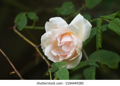 """soft pink flower of the rambling or climbing rose """"Madame Alfred Carriére"""", an old noisette rose bred by schwartz 1875, dark background with copy space, selected focus"""