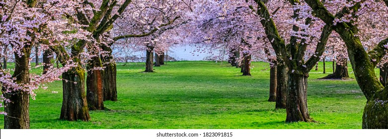 Soft Pink flowers of cherry tree, banner. Sakura blossoming alley. Wonderful scenic park with rows of flowering cherry sakura trees and green lawn in springtime, Germany.
