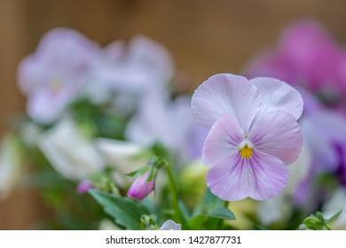 Soft pink and lavender pansies and green foliage in a window box flower planter on a warm spring summer day, with selective focus, a shallow depth of field and a blurred background.