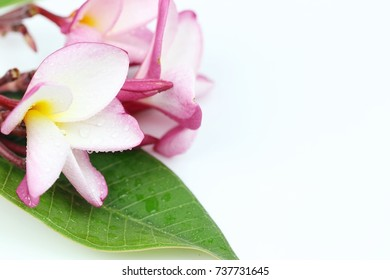 Soft pink plumeria flower on white background ,composition copy space for woman beauty concept