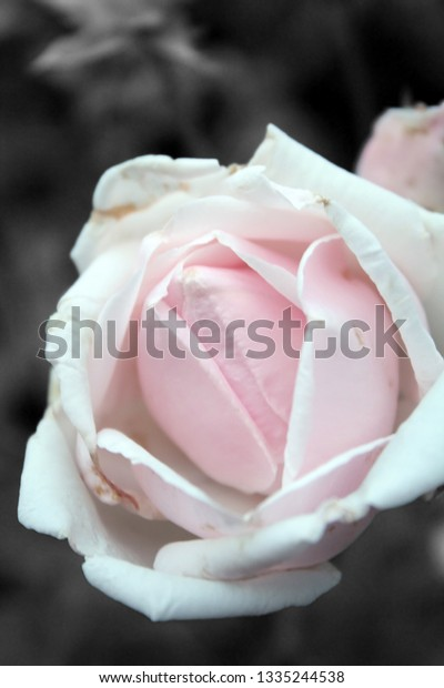 soft pink rose bloom with black and white background