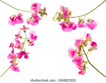 Soft pink sweet pea lathyrus flowers isolated against a white background