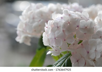 Soft pink white hydrangea flowers