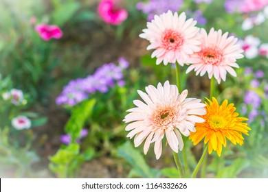 Soft pink and yellow hybrid Gerbera or Barberton daisy flowers (Gerbera jamesonii hybrida) on the flowerbed. Gerbera jamesonii, also known as Barberton daisy, Transvaal daisy, Barbertonse madeliefie.