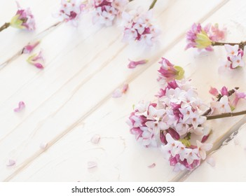 Soft and Pretty Pink Daphne Flowers and Petals Scattered on Distressed White Board Shiplap Background with room or space for copy, text, or your words.  It's horizontal with looking down view
