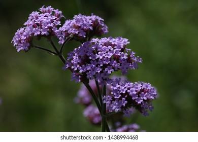 soft purple verbena bonariensis flowers