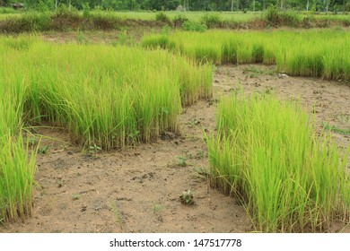 the soft rice are growing up in rice field