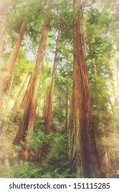 Soft romantic forest natural background of soaring giant redwood trees aka Coast Redwoods, California redwoods, Sequoia sempervirens, worlds tallest trees, Muir Woods Mill Valley California USA.