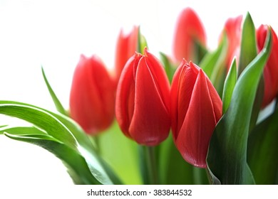 Soft and romantic picture of red tulips and lush green leaves on white background.