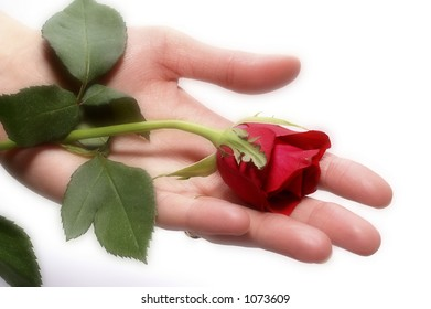 Soft rose in hand