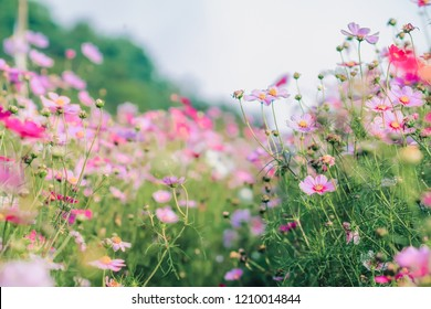 Soft And select Focus,A colorful field of Cosmos Flower is planted for visitors to visit the Cosmos Flower in the winter and the Cosmos Field. Flower is also the meeting of couples on Valentine's Day.