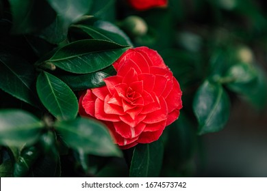 Soft selective focus of Camellia japonica known as common camellia, Red japanese camellia flowers in the garden, The rose of winter in dark green tone, Natural floral background.