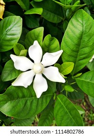 Soft and selective focus image Gardenia jasminoides or Gardenia augusta on green leaves background.