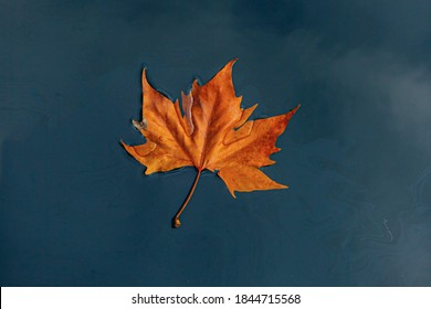 Soft selective focus of one orange brown leaves of Acer saccharum fall on the water with oil stain, Dry sugar maple leaf on water with dark tone, Free copyscape for your text, Nature autumn background