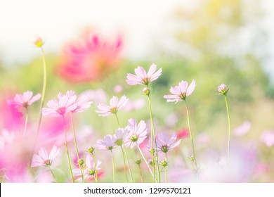 Soft, selective focus of pink Cosmos, blurry flower for background, colorful plants