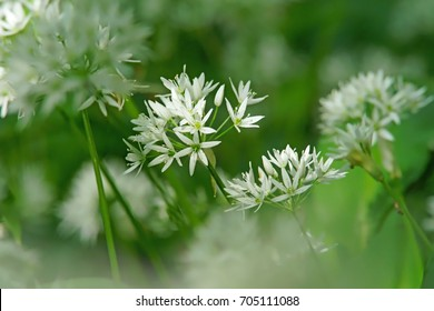 Soft, selective focus of wild garlic, Allium ursinum, in flower with diffused forest background, Gloucestershire, UK