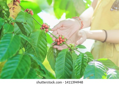 Soft & Smooth Focus,Coffee trees that are giving coffee results for use in the production of roasted coffee beans that have both domestic and international needs Concept of product quality control