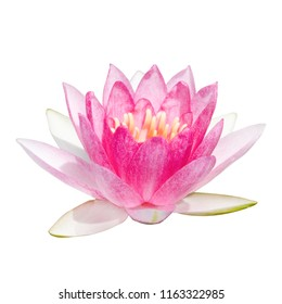 Soft sweet beautiful pink water lily flower isolated on white background with clipping path