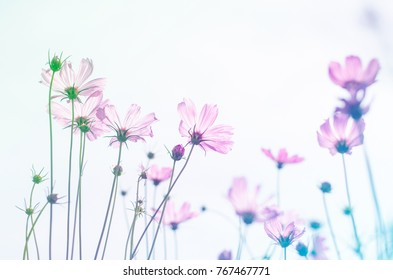 Soft sweet light blur cosmos flower in pastel color tone