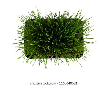 Soft wheat grass top view on white background