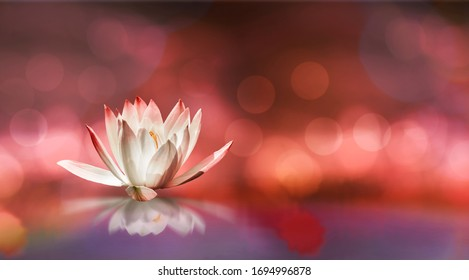 Soft white lotus on pond with soft  sunlight blur bokeh reflection on panorama background, Lily water flower on the water