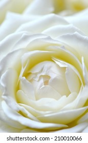 Soft white rose close up (vertical)