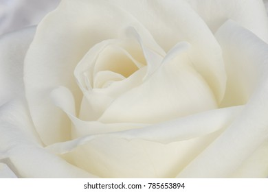 Soft white roses background close-up of petals