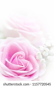 The softest pink rose petals on a white isolated background with Baby's Breath.
