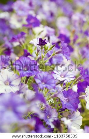 Softfocused White Violet Flowers Petunia Garden Stock Photo Edit