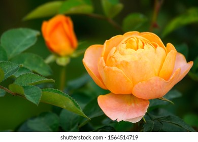 The softness of a pink rose growing in yard in Dalat, Vietnam, a rose is a woody perennial flowering plant of the genus Rosa, in the family Rosaceae