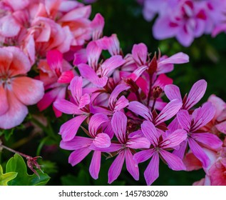 Sofy close-up of beautiful bright pink blooming Geranium flowers (Geraniums pink flowers). Summer flower landscape, fresh wallpaper and nature background concept