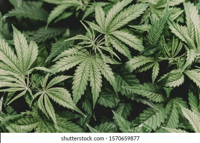 SoG hemp cultivation technique. Growing pot in groutent. Vegetative stage of marijuana growth. Medical marijuana. Background of cannabis leaves. A large amount of marijuana. Growing cannabis indoors.