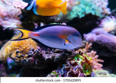 Sohal surgeonfish (Acanthurus sohal). Wonderful and beautiful underwater world with corals and tropical fish. Photo of a tropical Fish on a coral reef. selective focus and selective white balance