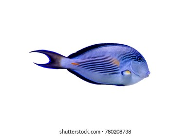 Sohal Tang (Acanthurus sohal) on white isolated background with clipping path
