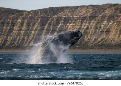Sohutern right whale, endangered species, Patagonia