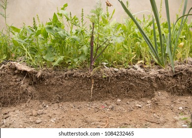 Soil cut and Growing plant with underground root visible.