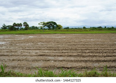 Soil preparation for rice cultivation and the rice field with cloudy sky background