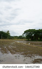Soil preparation for rice cultivation, land preparation in cultivation season