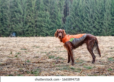 Soiled by the hunt an Irish setter with a safety vest stands on the mown corn field in late autumn and looks into the camera.