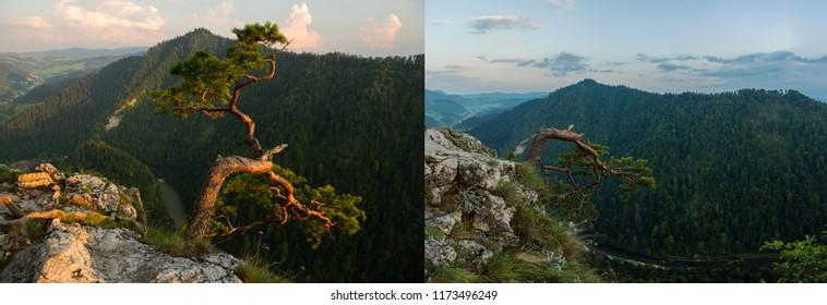 Sokolica drzewo zlamane  - Shutterstock ID 1173496249
