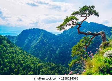 Sokolica peak in Pieniny Mountains with a famous dwarf pine tree at the top, Poland
