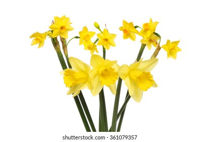 Sol D'or and traditional daffodils isolated against white
