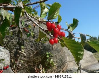 Solanum dulcamara - bittersweet, bittersweet nightshade, bitter nightshade, blue bindweed, Amara Dulcis, climbing nightshade, fellenwort, felonwood, poisonberry, poisonflower,  scarlet berry