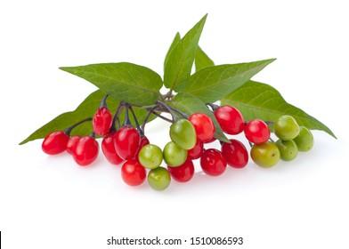 Solanum dulcamara - bittersweet, bittersweet nightshade, bitter nightshade, blue bindweed, Amara Dulcis, climbing nightshade, fellenwort, felonwood, poisonberry, poisonflower, scarlet berry isolate