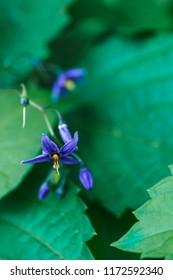 Solanum dulcamara, also known as bittersweet, bittersweet nightshade, bitter nightshade, blue bindweed, Amara Dulcis,climbing nightshade flowers close-up. Solanum is a large and diverse genus of