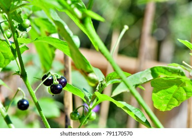 Solanum nigrum (Black nightshade) ; A colorful round fruit on tree, both black ripe, and young green fruits.