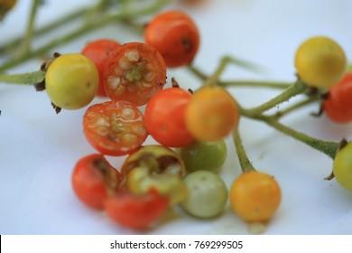 Solanum sanitwongsei, Herb for treatment cough and sore throat