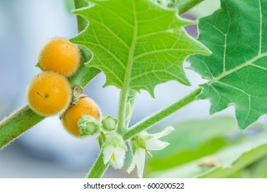 Solanum stramonifolium or Hairy-fruited eggplant